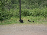 Mama Black Bear with 3 cubs Jul 2017